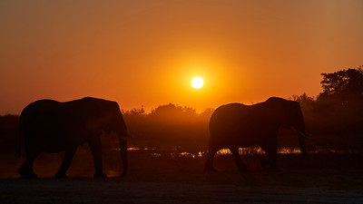 "Elephant (Maun / North-West / Botswana - 19°15'16.139"" S 23°22'24.839"" E)"