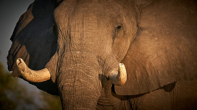"Elephant (Maun / North-West / Botswana - 19°15'37.5"" S 23°23'53.159"" E)"