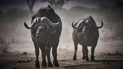 """Buffalo (Katima Mulilo / Zambezi / Namibia - 18°33'42.959"""" S 24°4'10.56"""" E)"""