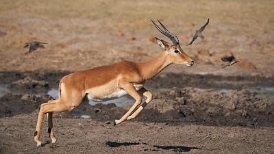 """Impala (Maun / North-West / Botswana - 19°23'35.459"""" S 23°29'28.511"""" E)"""