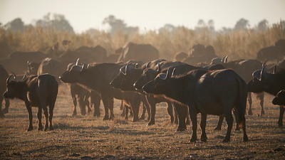 "Buffalo (Maun / North-West / Botswana - 19°29'10.314"" S 23°31'8.195"" E)"
