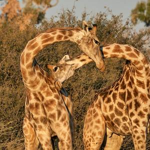 """Giraffe - Girafe (Maun / North-West / Botswana - 19°25'34.055"""" S 23°38'0.167"""" E)"""