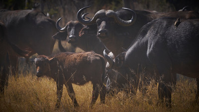 "Buffalo (Maun / North-West / Botswana - 19°5'31.319"" S 23°50'5.759"" E)"