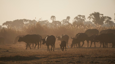 "Buffalo (Maun / North-West / Botswana - 19°29'11.676"" S 23°31'24.408"" E)"