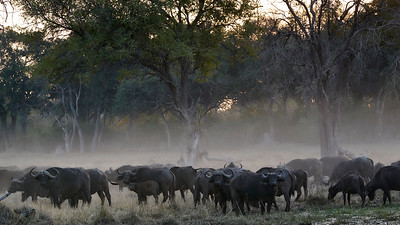 "Buffalo (Maun / North-West / Botswana - 19°6'31.62"" S 23°50'16.44"" E)"