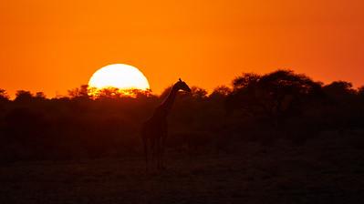 "Giraffe - Girafe (Rakops / Central / Botswana - 21°19'56.549"" S 23°40'49.997"" E)"