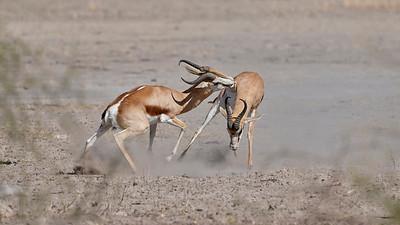 "Springbok (Dekar / Ghanzi / Botswana - 21°46'40.499"" S 23°12'31.583"" E)"