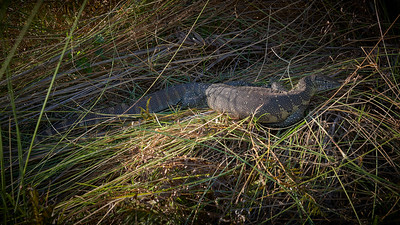 "Nile monitor (Maun / North-West / Botswana - 19°13'13.139"" S 23°20'24.359"" E)"