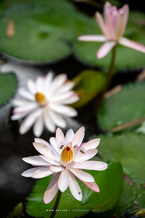 Water Lily, Baan Thai Ayutthaya Khlong Sra Bua