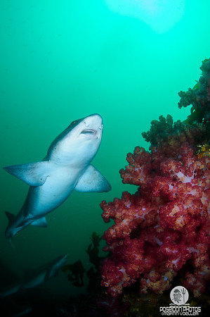 Banded Hound Shark Gliding over a Soft Coral
