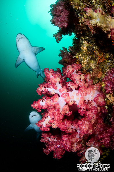 Pair of Banded Hound Sharks Gliding over Soft Corals