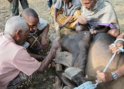 Castration d'un bœuf