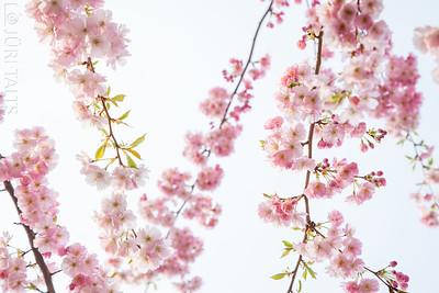 Cherrie blossoms