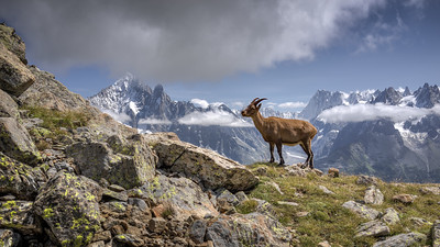 "Between Planpraz, black lakes (Lacs noirs) and the Index. Ibex at the ""Col de Lacs noirs."""