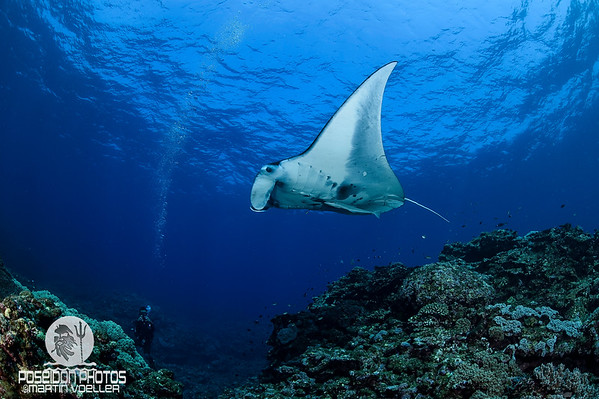 Manta Ray Glides over a Cleaning Station and a Diver