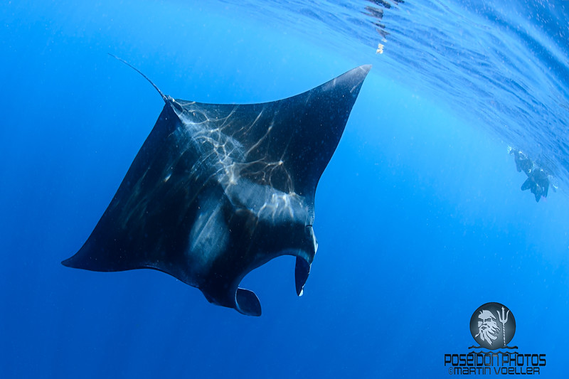 Manta Ray Shows Off in Front of Snorkelers