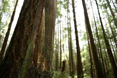 Culturally Modified Tree, Squamish, British Columbia, Canada