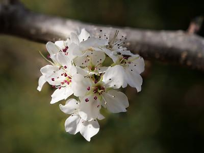 Allen_G9_Floral_Almond Blossom