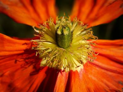 Allen_G9_Floral_Poppu burst 1141461