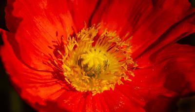 Allen_G9_Floral_Poppy center P1141463