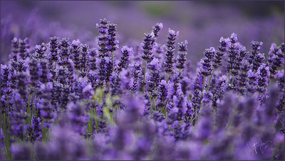 Lavendar Sunshine NEW