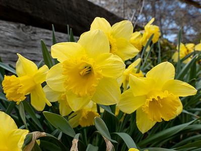 P1034523 Daffodils