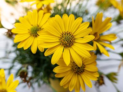 P1023639 daisy