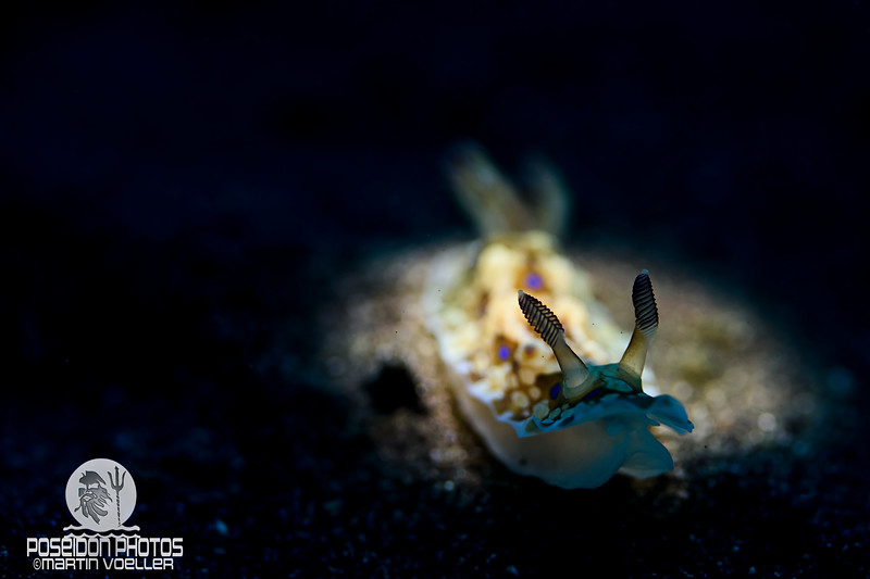 Snooted Nudibranch
