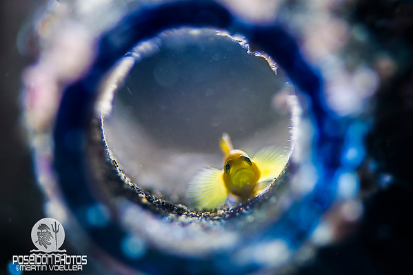 Yellow Pygmy Goby Staring Out of Bottle