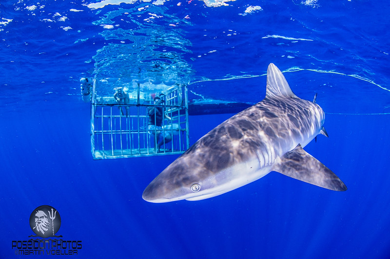 Sandbar Shark and Observers inside a Cage