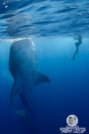 The Bottling Whale Shark