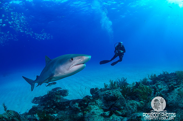 Diver Swims along a Tiger Shark
