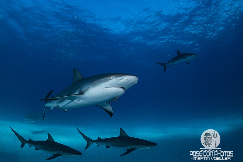 Caribbean Reef Sharks Patrolling