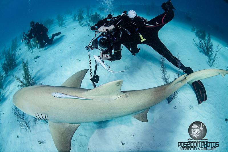 Paparazzi Chases a Lemon Shark