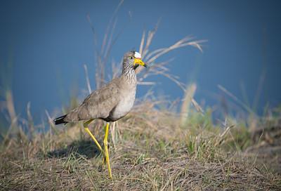"""Vanneau du Sénégal, wattled lapwing : Vanellus senegallus - Location 17°52'48"""" S 23°18'31"""" E"""