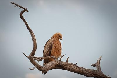 """Aigle ravisseur, tawny eagle : Aquila rapax - Location 19°0'33"""" S 20°42'36"""" E"""