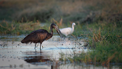 "African openbill : Anastomus lamelligerus, Bec ouvert africain - Location 17°49'46"" S 25°2'49"" E"