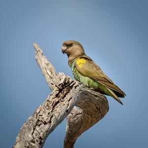"Meyer's parrot : Poicephalus meyeri, Perroquet de Meyer - Location 18°41'1"" S 20°45'20"" E"