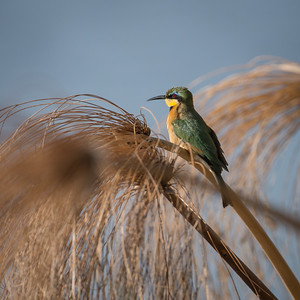 "Guêpier nain, Little bee-eater  : Merops pusillus pusillus - Location 18°9'27"" S 21°40'49"" E"