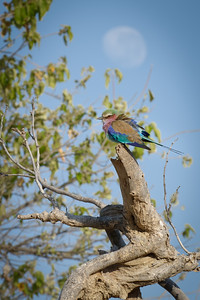 "Lilac-breasted roller : Coracias caudatus, Rollier à longs brins - Location 18°35'16"" S 24°4'42"" E"