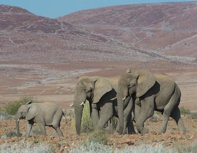 Desert elephants - Elephant (loxodonta africana africana)