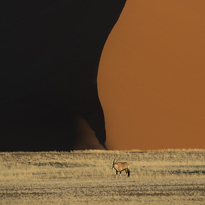 Oryx in the dunes – Gemsbok (oryx gazella) - Sossusvlei area