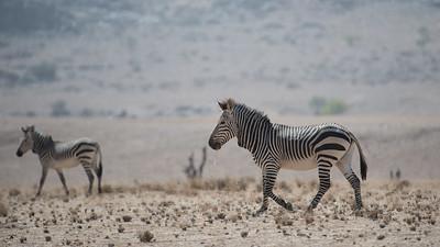 Hartmann's Mountain zebra (equus zebra)