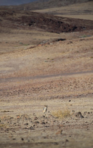 Chacal à chabraque – black-backed Jackal (canis mesomelas)