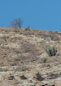 Guépard – Cheetah (acinonyx jubatus)