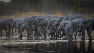 """African bush elephant : bush elephant : savannah elephant : Loxodonta africana, Éléphant de savane d'Afrique - Location 18°10'32"""" S 23°26'44"""" E"""