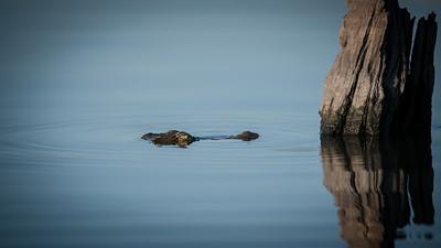 "Crocodile du Nil, Crocodylus niloticus, Nile crocodile - Location 17°49'48"" S 25°2'50"" E"