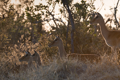 "Impala, impala : Aepyceros melampus - Location 18°36'58"" S 24°4'42"" E"