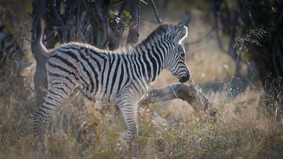 """Burchell's zebra : Equus burchellii, Zèbre de Burchell, Zèbre des plaines - Location 18°32'48"""" S 24°4'29"""" E"""