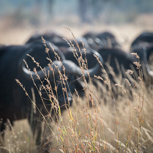 "African buffalo : Syncerus caffer, Buffle d'Afrique - Location 17°49'48"" S 23°17'44"" E"